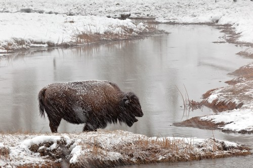 1st Peter-Clark-Bison-in-Snow