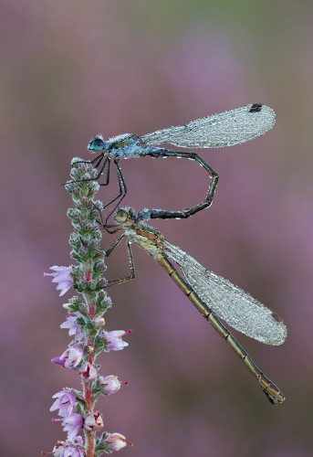 2nd Emerald Damselflies covered in dew, Guy Rogers, adv colour