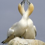Gannets Sparring © David Ray