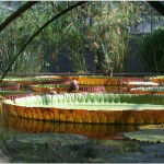 Giant-Lily-Pads-Margaret-Brookes.jpg