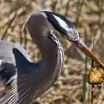 Great Blue with Turtle Catch