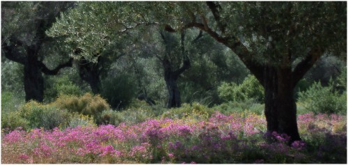 Olive Grove Impression-Chris Cartlidge