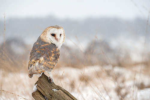 2nd Barn Owl - Mike Pearce