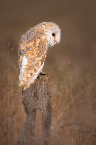 Barn Owl by Mike Pearce