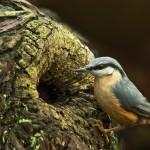 H Comm Paul-Sutton-Nuthatch