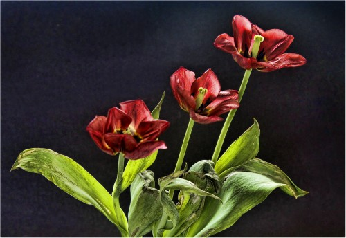 2nd Tulip trio - Graham Orgill