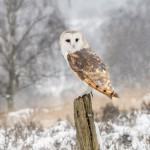 Barn Owl on Post in Snow - David Ray