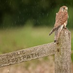 HC Pearce Kestrel in the Rain