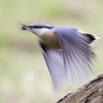 HC nuthatch - scott latham
