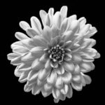 chrysanthemum-neil-mcguff