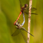 common-darters-mating-graham-orgill