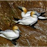 INT-Gannets on the rocks-Bob Cooper