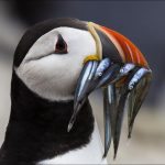 INT_Puffin head wiith sandeels_Corinne Sutton