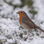 NOV_Festive Robin_Chris Bates