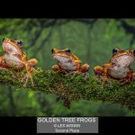 01_GOLDEN TREE FROGS_LES WIGGIN