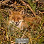 03_Fox in the grass_Bob Cooper