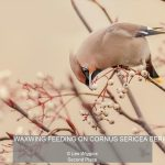 01_WAXWING FEEDING ON CORNUS SERICEA BERRIES_Les Wiggins