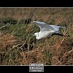 02_Little Egret_Bob Cooper
