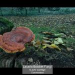 06_Lacaria Bracket Fungi_John Cartlidge
