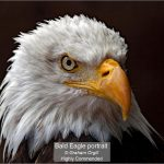 09_Bald Eagle portrait_Graham Orgill