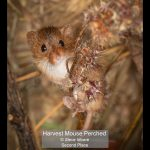 09_Harvest Mouse Perched_Steve Moore