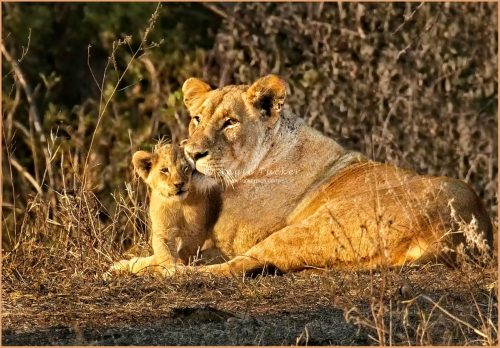 Angie Tucker-Lioness With Cub