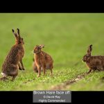 01_Brown Hare face off_David Ray